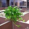 办公室绿植租赁