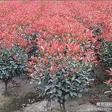 红叶石楠优价出售:工程用苗红叶石楠树小苗红叶石楠苗包邮