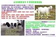 青山羊价格青山羊多少钱只青山羊适合在拉萨养殖吗