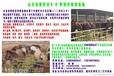 小尾寒羊价格小尾寒羊多少钱只小尾寒羊适合在丽江养殖吗