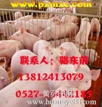 大量苗猪,仔猪,母猪,种猪,苗猪价格,仔猪价格,种猪价格,猪价,生猪价格