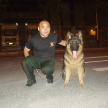 上海军犬护卫保安犬防暴犬搜索犬护卫63092875