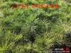 红松小苗、红松基地、辽宁红松、红松种子、红松大树