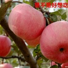陕西膜袋红富士苹果价格/陕西冷库红富士苹果批发价格图片