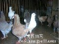 玉林观赏鸽价格图片