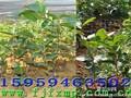 良种油茶苗福建油茶苗油茶丰产栽培技术图片