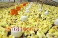 云南2014年鹅苗鸭苗最新价格?鹅苗鸭苗多少钱一只?