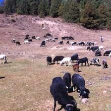 乌骨羊引种最好来原产地