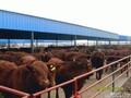 黑龙江哪里有西门塔尔母牛犊卖?图片