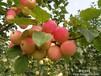 出售多年生桃树梨树李子树