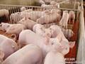 山东仔猪价格图片