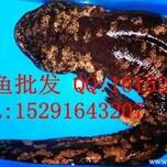 山西娃娃鱼价格,7月山西娃娃鱼多少钱一斤图片