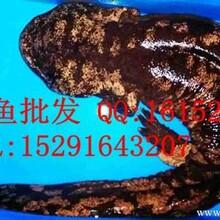 2014年山东青岛娃娃鱼价格_批发供应山东娃娃鱼图片