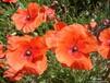 陕西西安多年生矮生野花组合花种