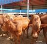 万头3-8个月的优良肉牛犊小公牛小母牛架子牛提供科学养殖肉牛放养圈养养殖快技术图片