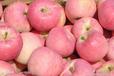 红富士苹果批发价