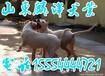 杭州哪有卖杜高犬杜高犬幼犬几个月打野猪