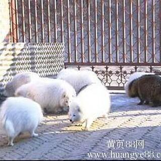 供应貉子,狐狸幼崽调种图片3