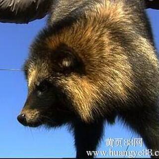 供应貉子,狐狸幼崽调种图片2