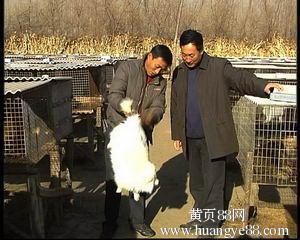 供應貉子,狐貍幼崽調種-- 昌黎縣荒佃莊鄉尚金皮毛購銷處