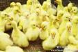 北京市常年大量收购大鹅和鸡鸭鹅苗出售