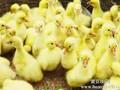 鸡鸭鹅苗出售和成品鹅鸭回收图片