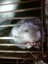 竹鼠种苗及商品鼠