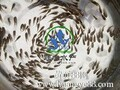 广州联丰水产供应优质的杂交吉富罗非鱼苗,罗非鱼苗价格。图片