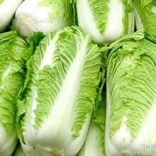 山东优质大白菜供应价格图片