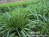 河北承德紫花苜蓿草种价格-墨西哥玉米种子批发价格是多少