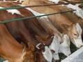 山海关西门塔尔鲁西黄,改良牛牛苗价格图片