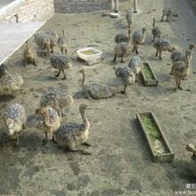 沂州哪里有出售黑天鹅的/全国包邮图片