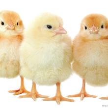 海兰褐青年鸡60日龄青年鸡海兰种蛋海兰蛋鸡苗