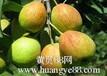 陕西早酥梨种植基地批发价格行情红香酥梨批发行情