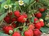 黑龙江草莓苗,东北草莓苗,抗寒草莓苗