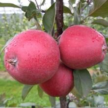 辽宁唯一红肉苹果苗专营商,红色之爱红肉苹果苗批发零售价格最低