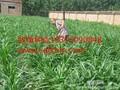 山东进口黑麦草种子价格图片