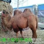 骆驼出售骆驼养殖山东家龙骆驼养殖场图片