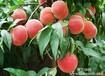 山东藤木苹果供应供应哪里有批发毛桃的