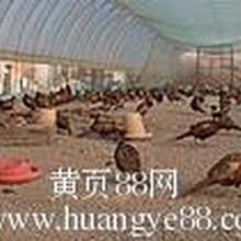 美国七彩山鸡养殖场,北京山鸡养殖场