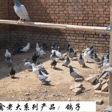 山鸡养殖场美国七彩山鸡野鸡