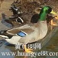 野鸭价格野鸭批发,野鸭养殖场图片