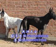 大丹犬高贵儒雅绅士风范成功人士首选伴侣犬图片