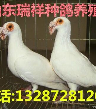 【夏季养鸽子的注意事项】_黄页88网