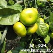 大量出售湖北宜昌柑橘