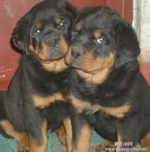 云南卖罗威纳曲靖卖罗威纳曲靖买罗威纳狗场常年出售纯种罗威纳