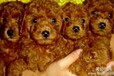 玉溪卖泰迪犬玉溪买泰迪犬玉溪狗场出售纯种泰迪犬玉溪转让泰迪犬