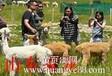 羊驼驯化羊驼养殖技术羊驼出售