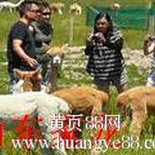 羊驼驯化羊驼养殖技术羊驼出售图片