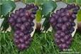 大量供应巨玫瑰葡萄